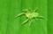 カノウハエトリグモ