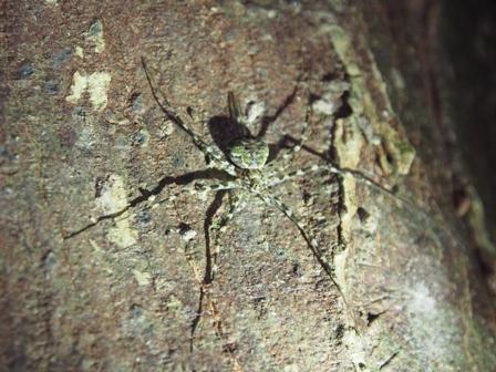 オキナワナガイボグモ