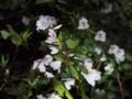 [沖縄][国頭][植物][川]サクラツツジ