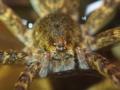 [沖縄][国頭][昆虫類][川]オオハシリグモ