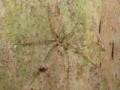 [沖縄][国頭][昆虫類][川]オキナワナガイボグモ