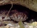[沖縄][国頭][爬虫類][川]ヒメハブ