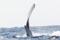 [沖縄][ザトウクジラ][海生ほ乳類]