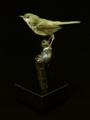 [沖縄][名護博物館][名護][鳥類]ウグイスはく製