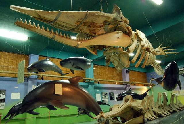 マッコウクジラ骨格