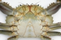 [川][沖縄][名護][甲殻類]アミメノコギリガザミ