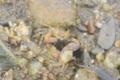 [川][沖縄][名護][甲殻類]ツノメチゴガニ