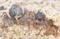 ミナミコメツキガニ