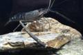 [沖縄][名護][名護博物館][甲殻類]コンジンテナガエビ展示