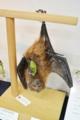 [沖縄][名護][名護博物館][陸生ほ乳類]オリイオオコウモリはく製