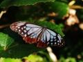 [沖縄][名護][嘉津宇岳][昆虫類]アサギマダラ