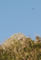 [沖縄][名護][嘉津宇岳][鳥類][風景]サシバと山頂
