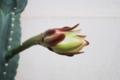 [沖縄][名護][名護博物館][植物]サボテン開花