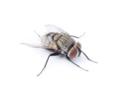 [沖縄][名護][名護博物館][昆虫類]ヤドリバエ類
