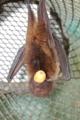 [沖縄][名護][名護博物館][陸生ほ乳類]オリイオオコウモリのコモちゃん