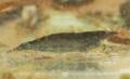 [川][沖縄][名護][名護博物館][甲殻類]トゲナシヌマエビ