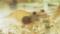ヒラテテナガエビに寄生するエビノコバン