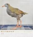 [沖縄][国頭][鳥類][天然記念物][名護博物館]