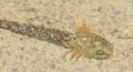 [沖縄][名護][川][両生類][天然記念物]イボイモリ