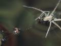 [昆虫類][沖縄][名護][川]ヒゲナガハシリグモ