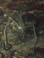 [甲殻類][沖縄][名護][川]ミナミテナガエビ