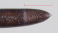 [爬虫類][沖縄][名護]ブラーミニメクラヘビ