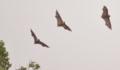 [陸生ほ乳類][沖縄][名護][嘉津宇岳]オリイオオコウモリ