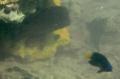 [魚類][沖縄][名護][川]クロホシマンジュウダイ