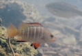 [魚類][沖縄][名護][川]ゴマフエダイ