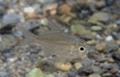 [魚類][沖縄][名護][川]ナンヨウタカサゴイシモチ