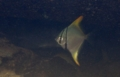 [魚類][沖縄][名護][川]ヒメツバメウオ