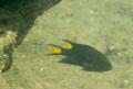 [魚類][沖縄][名護][川]リボンスズメダイ