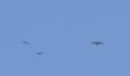 [鳥類][沖縄][名護][嘉津宇岳]アカハラダカとサシバ