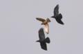 [鳥類][沖縄][名護][嘉津宇岳]サシバ