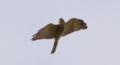 [鳥類][沖縄][名護][嘉津宇岳]アカハラダカ