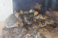 [沖縄][名護][名護博物館][爬虫類]アカマタ