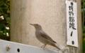 [沖縄][名護][名護博物館][鳥類]イソヒヨドリ♀