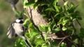 [沖縄][名護][嘉津宇岳][鳥類]オキナワシジュウカラ