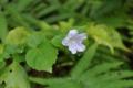 [沖縄][名護][名護博物館][ぶりでぃ子ども博物館][植物]セイタカスズムシソウ