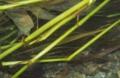[沖縄][名護][川][魚類]テングヨウジ