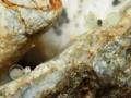 [沖縄][名護][川][魚類][リュウキュウアユ]リュウキュウアユ産卵