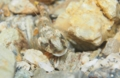 [沖縄][名護][魚類][川]シマヨシノボリ
