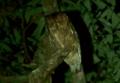 [沖縄][名護][鳥類][川]リュウキュウオオコノハズク