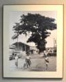 [沖縄][名護][天然記念物][名護博物館]ひんぷんガジュマル