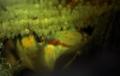 [沖縄][名護][川][魚類][名護博物館]クロヨシノボリ