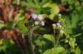 [沖縄][名護][名護博物館][植物]ムラサキカッコウアザミ