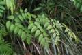 [沖縄][名護][名護博物館][植物]タラノキ