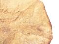 [沖縄][古生物][魚類][名護博物館][化石]Brannerion