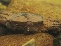 [甲殻類][沖縄][東村][川]ニセモクズガニ