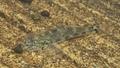 [魚類][沖縄][名護][川]ツバサハゼ